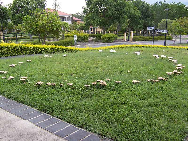 Fairy_ring_on_a_suburban_lawn_100_1851