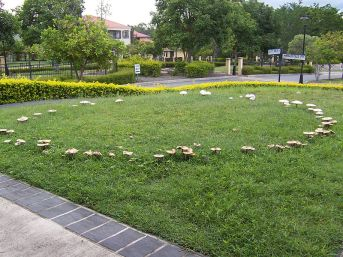 Fairy_ring_on_a_suburban_lawn_100_1851